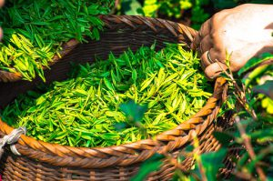 what is in green tea?